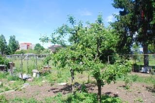 Aus Brombeer und Brennnesseln gerettete Apfelbäume