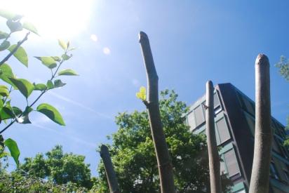 Der Feigenbaum nahm im Frost Schaden, treibt aber wieder
