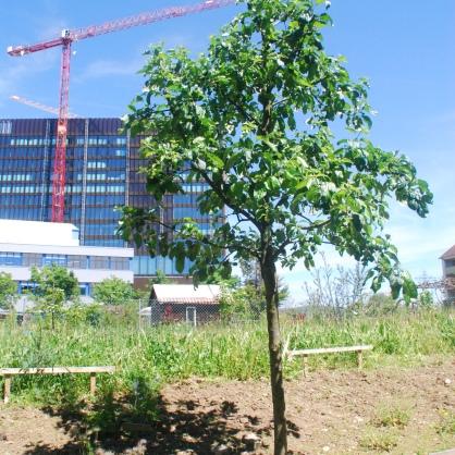 Der gerettete Apfelbaum mit neuem Licht- und Lebensraum